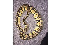 2 royal snakes