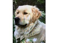 Golden | Dogs & Puppies for Sale - Gumtree