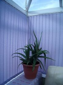 GIGANTIC ALOE VERA PLANT WITH POT FOR SALE *REDUCED PRICE*