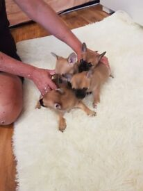 Announcing!... Chihuahua Puppies For Sale