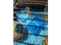 Two male hamsters 11 week old dwarf roborovski comes with cage food and bedding and accessories