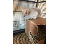 Chinchilla with LARGE cage