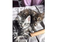 Half Persian Kittens (1 boy and 1 girl)