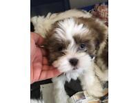 Shihtzu x Lhasa apso puppies
