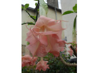 Brugmansia. Angels Trumpet plants Double / Triple Pink fragrant flowers - Pokesdown BH5 2AB