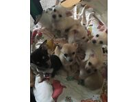 Handsome male chihuahua puppies - one left