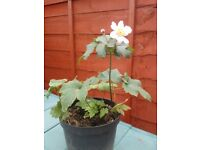 PINK SINGLE ANEMONE IN POT, GREAT ROOTS