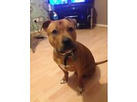 2yr old Red Staffordshire Bull Terrior, Excellent nature, Needs A GOOD LOVING FAMILY