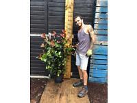 140-160cm Photonia x Fraseri 'Red Robin' Luxury Hedge