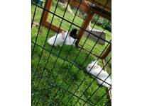 Lion lop lionhead rabbit bunnies
