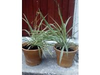 Spider Plant Chlorophytum Large House Office Plants in big Terracotta Pots £6 each or 2 for £10