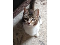 Half burmilla cat