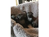 5 beautifull pug puppies for sale