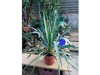 Very large flowering yucca plant forsale