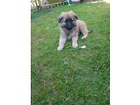 Reduced!!! German shepherd x Belgian puppies
