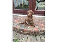 Chocolate Brown Labrador puppy 10 weeks