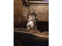 12.2hh Welsh 7yr old mare to be rehomed