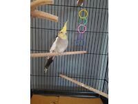 Cockatiel plus cage and accessories