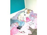 Jackawaha puppy