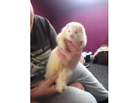 female albeeno ferret friendly with both cats and dogs
