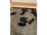 Kc registered Rottweiler puppies