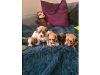 Gorgeous Lachon Puppies