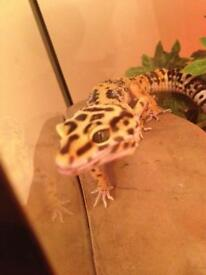 3 y/o male leopard gecko