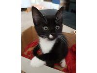 Gorgeous black and white female kittens