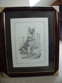 Un-displayed C Varley signed framed black & white pencil print of Alsatian, German Shepherd.£15 ovno