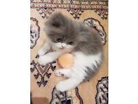 Unique stunning white & gray Persian kitten