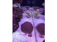 Closing my marine tank coral and fish 4 sale from £5