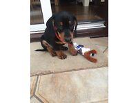 8 week old Dachshund puppy