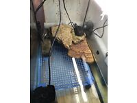 3 diamond back turtles free to good home