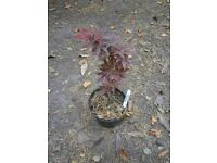 "Acer pa;matum ""Skeeters Broom"" potted japanese maple garden tree"
