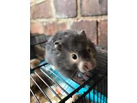 Long haired hamsters for sale