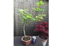 Bonsai Tree English Beech