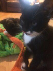 Beautiful Calico Kittens