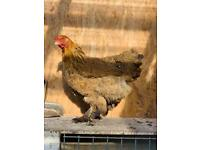 Various blue egg laying hens for sale all healthy.