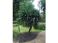 9FT Yucca Plant. 4.5FT Width at Top.