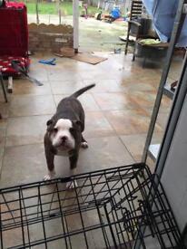 Staff Dog Urgent Sale