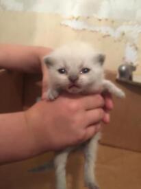 British shorthair kittens blues/colourpoint/lilac/grey&white £400