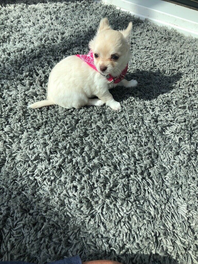 Female white and cream long hair chihuahua | in Bishop Auckland, County  Durham | Gumtree