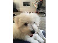 Bichon Frise cross Poodle Puppy