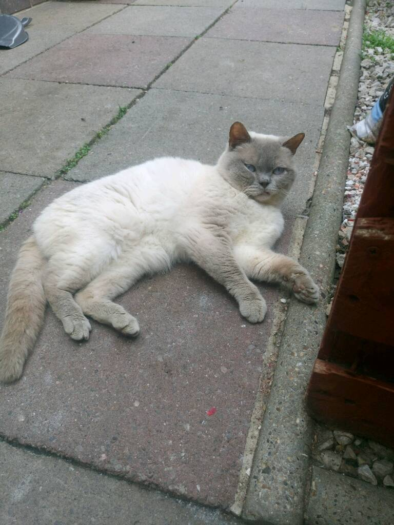 British shorthair colour point cat in Barking London