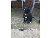 Last little boy Great Dane puppy