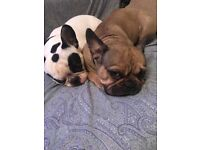 Double room wanted for couple with two French Bulldogs LONDON :)