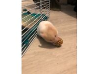 Male Syrian Hamster and Accessories!