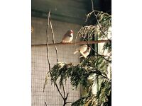 Assorted Zebra Finches £30 for 12 ( job lot )