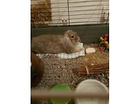 Rabbit Male Grey