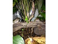 PAIR OF MALE WHITES TREE FROGS - FREE TO GOOD HOME